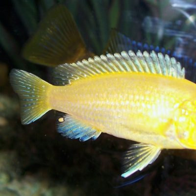 Know The Fishes That Are The Best Companions For Yellow Cichlids